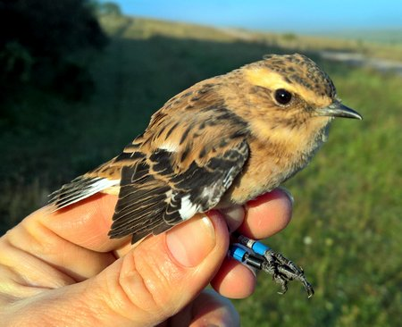Whinchat cr