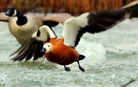Ruddy Shelduck 2019 12 06 Langford Lakes1