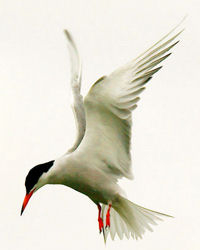 common_tern_2011_08_15_langford_lakes_200x250.jpg